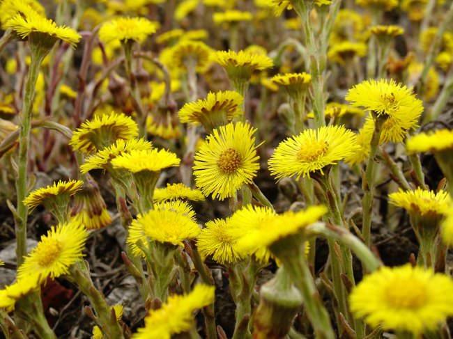 Народные средства лечение липомы с использованием травы мать-и-мачеха