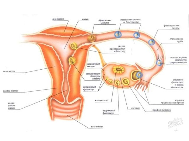 Пертоды ранний репродуктивный поздний ремродутивный