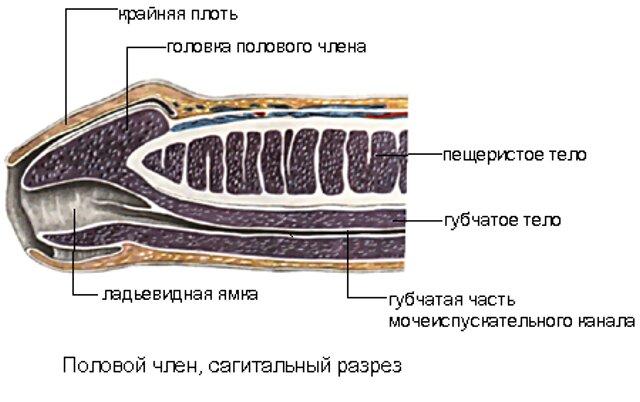 Пещеристые тела в половом органе