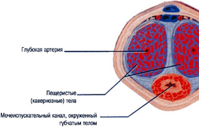 Пещеристые клетки строение