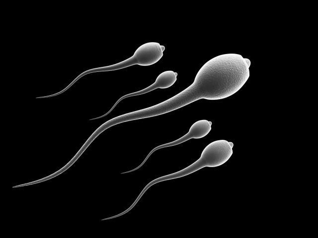Фаза жизни сперматазоида