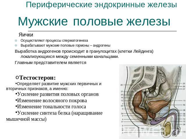 мужские половые железы