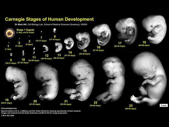 стадии развития плода