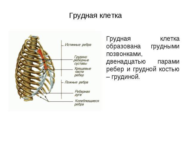 грудная клетка