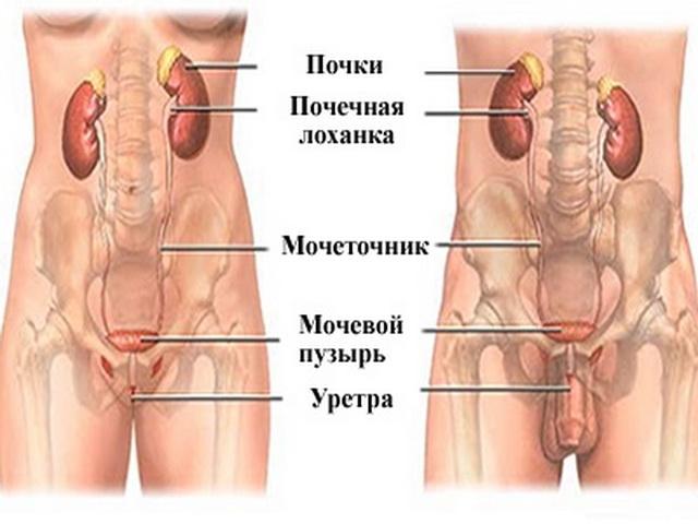 Мочеполовая система мужчин и женщин