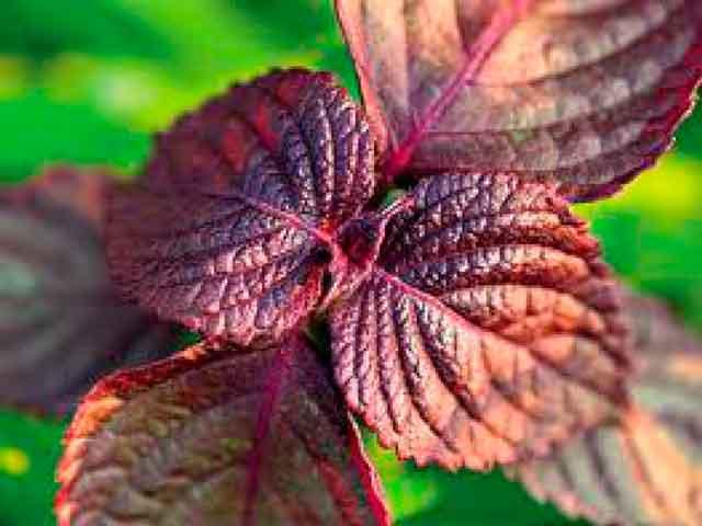 Противопоказания растения