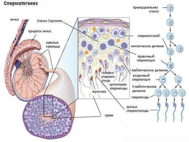 povisit-podvizhnost-spermatozoidov-k