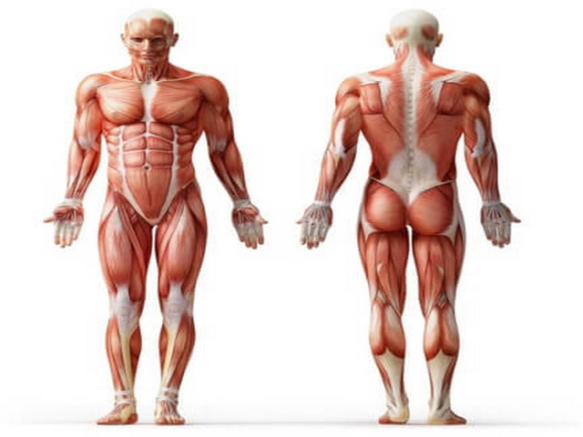 До какого возраста растут мышцы