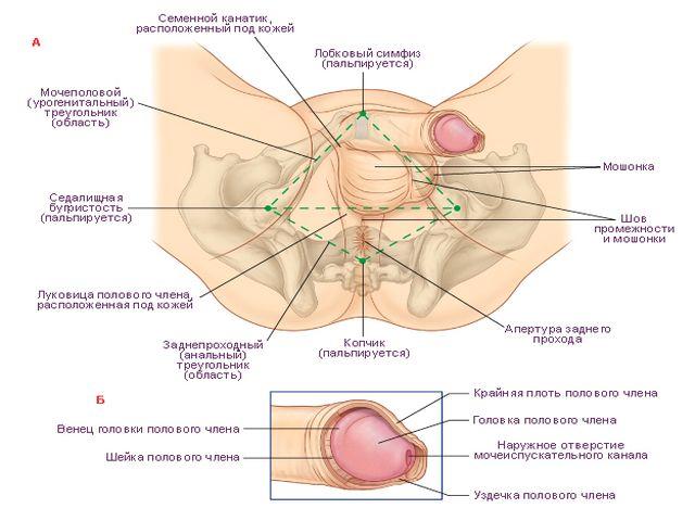 Как действует крем для увеличения члена