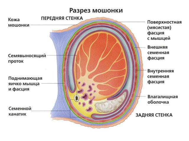 Орган в разрезе