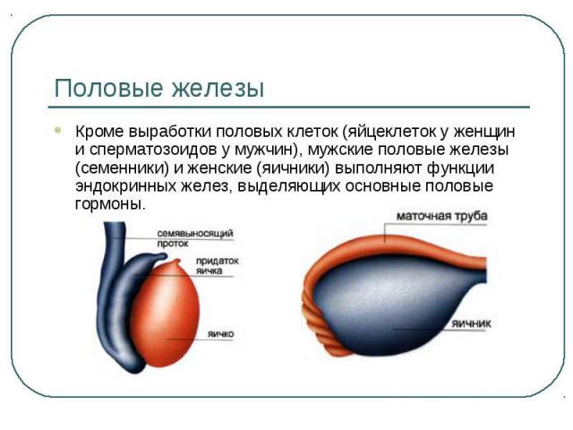 Половые железы