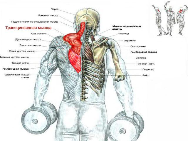 Как правильно тренировать трапециевидную мышцу