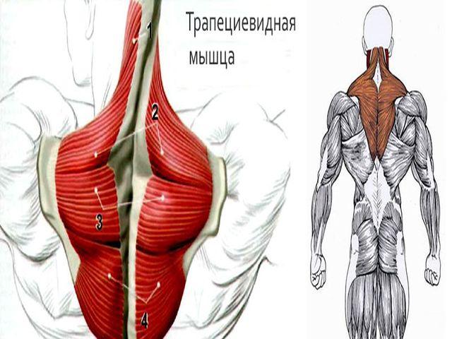 Где находится трапециевидную мышца