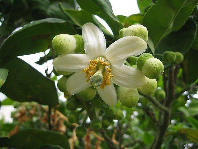 Рождение фрукта