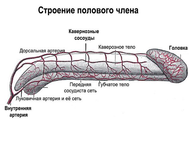 Микропения у Мужчин