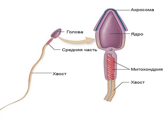 skazhite-chto-takoy-spermatozoid