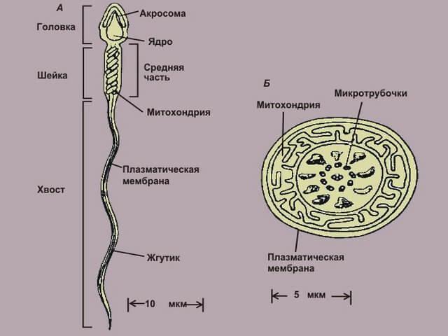 Строение хвостика спермия