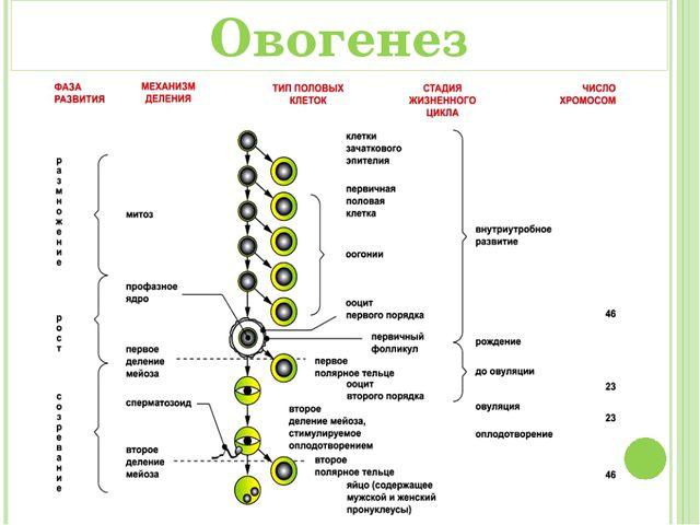 Отличия между овогенезом и сперматогенещом