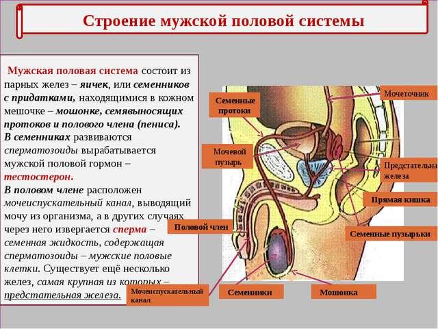 урология половые органы мужчины