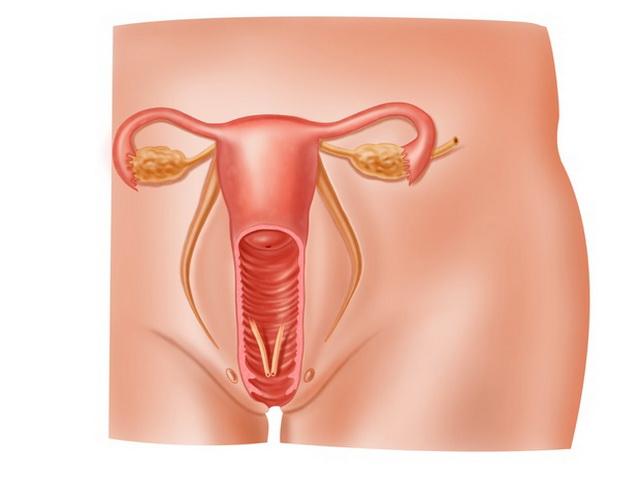 половые органы и мочевыводящие пут