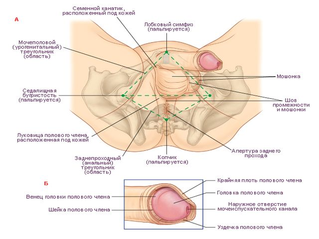строение мужского полового органа