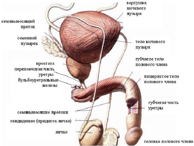 Стадии развития простатита