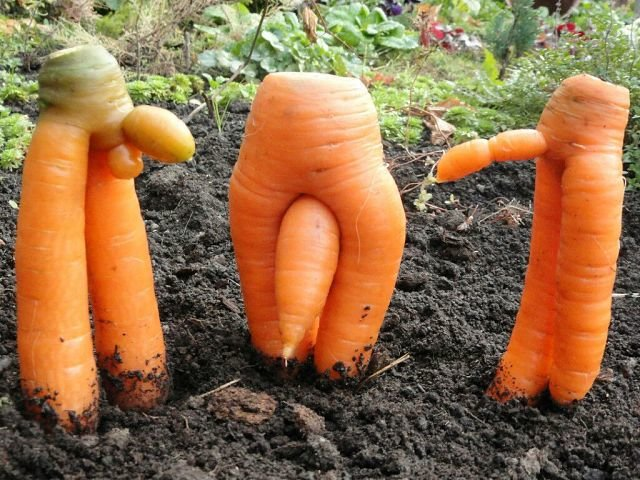 Применение моркови