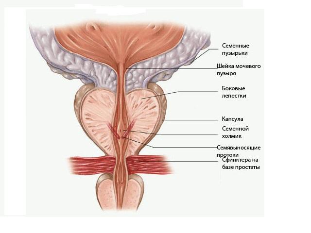 размер предстательной железы у мужчин норма