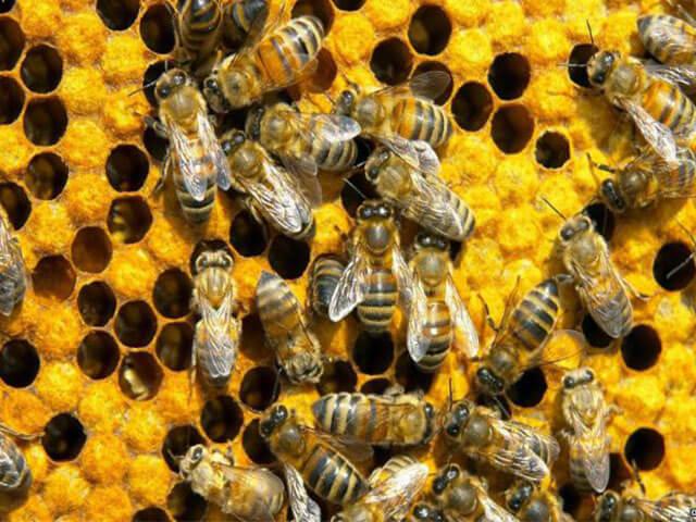 Уникальное качество пчелиного клея